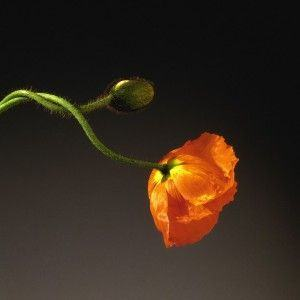 Robert Mapplethorpe. Poppy. 1988